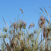 Cyperus papyrus (Papyrus Sedge, Paper Reed)