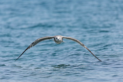 Skilled Navigation (PhR_Photos) Tags: croatia brač seagull low altitude tamron 600mm ngc