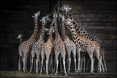 Rothschild's Giraffes (Darwinsgift) Tags: giraffes woburn safari park nikkor 200500mm f56 af nikon d850