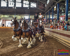 Carson Clydesdales (Scottwdw) Tags: 2018 arena carsonfarms clydesdales coliseum draft fairgrounds hitch horses intensifyck internationalhorseshow man newyork newyorkstatefair people reins reinsman skylum spectators summer syracuse tack toyota wagon woman unitedstatesofamerica 840 nikond750 nikon50mmf18g niftyfifty