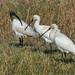 Black-headed Ibis and Eurasian Spoonbill,