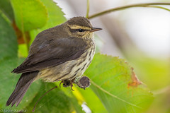_V2A2574 (Confusion_Circle) Tags: northern reifel waterthrush