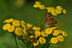 Small Copper (pstenzel71) Tags: natur schmetterlinge tiere butterfly smallcopper kleinerfeuerfalter lycaenaphlaeas darktable bokeh