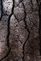 Burnt (Andrew Kumler) Tags: burnt tree oregon cascades fire forest mountains ponderosa