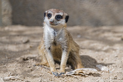 Meerkat sitting well (Tambako the Jaguar) Tags: meerkat cute sitting posing sand portrait kindezoo zoo knie rapperswil nikon d5
