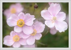 Sony A7RII with Zeiss Makro-Planar 2/100 ZE (Dierk Topp) Tags: a7rii a7rm2 ilce7rii ilce7rm2 macro sonya7rii zeissmakroplanar2100ze blumen flowers sony