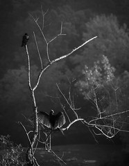 The Old Crow and the Vulture (*Ranger*) Tags: nikond3300 nature blackandwhite bw bird tree outdoor edgarevinsstatepark tennessee