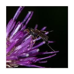 Tiny Ichneumon Wasps (Mark Wasteney) Tags: happybeautifulbugbuttthursday hbbbt wasp ichneumon insect squareformat photoborder frame