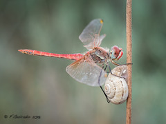 4Ever Friends! (Fernando Guirado) Tags: 2018 macro septiembre sympetrumfonscolombii utxesa 4ever friends macrofotografia macrophoto macrophotography macrofoto wildlife olympus em1mk2 em1ii 60mmmacro odonata odonato libélula dragonfly