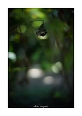 2018/8/14 - 6/18 photo by shin ikegami. - SONY ILCE‑7M2 / 七工匠  7artisans 50mm f1.1 (shin ikegami) Tags: flower 花 紫陽花 macro マクロ 井の頭公園 吉祥寺 summer 夏 asia sony ilce7m2 sonyilce7m2 a7ii 50mm 七工匠 7artisans 7artisans50mmf11 tokyo photo photographer 単焦点 iso800 ndfilter light shadow 自然 nature 玉ボケ bokeh depthoffield naturephotography art photography japan earth