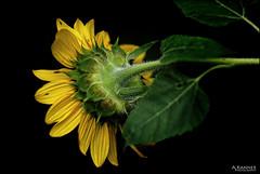 Fading Fast... (angelakanner) Tags: canon70d carlzeiss sunflower garden longisland