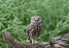 Little Owl (mikedenton19) Tags: little owl littleowl athene noctua athenenoctua lesgibbonhide eastyorkshire wildlife nature bird birdofprey bop strigiformes 30dayswild