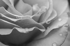 Rose Raindrops B&W (s.d.sea) Tags: rose roses petals petal flower flowers blossom bloom garden summer grow nature pnw pacificnorthwest issaquah klahanie pentax k5iis 120mm macro washington washingtonstate