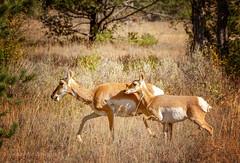 antelope (scepdoll) Tags: grandtetonnationalpark antelope pronghorn autumn fall jackson wyoming findyourpark