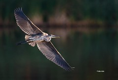 Blue Heron (Mike Veltri) Tags: blueheron heron herons flight wild nature ontario canada
