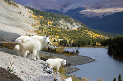 Just Enjoing the View (valentina425) Tags: colorado mountains lake fall goats mountain wilderness wild animals life ngc