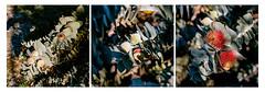 Western Australia wildflower trip 08/2018 (Nikon FM3A & Kodak Ektar 100) (Cecilia Temperli) Tags: australia westernaustralia wildflowers eucalyptusmacrocarpa film kodak nikon nikonfm3a kodakektar100 ektar100 spring