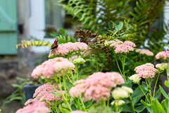 End of summer. Le Perche, Normandie, France (martine_vise) Tags: garden flowers butterfly nature naturelover summer pinkflower fern greenery orne france leperche normandie countryside countrylife rurallife gardenlife naturephotography bokeh