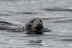 Seal-1 (rackhs) Tags: 150600mm d7500 holiday seahouses sigma nature seal wildlife