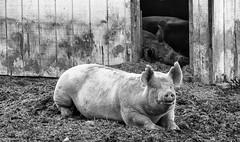 Animal Farm (Dave_Bradley) Tags: farm farming agriculture olympus mirrorless em5 pig bw black white