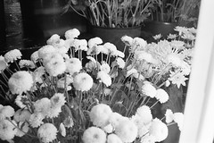 Carnations (edwardcgonzales) Tags: canon canonet canonetql17giii kodak kodaktmax kodaktmax400 tmax tmax400 bnw blackandwhite film 35mm