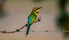 Rainbow Bee-eater (Merops ornatus) (AWLancaster) Tags: rainbowbeeeater meropsornatus birding photowalk shepparton native spring sony sigma a77ii morning rainbow beautifulbird birds wildlife