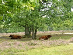 two Scottish Highlanders (Sylvia Okkerse) Tags: heather heath heathland cattle scottishhighlander greatphotographers
