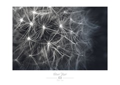 Réseau de neurones (Nibor Jiher) Tags: fleurs macro pissenlit plantes fleur pissenlits plante proxi