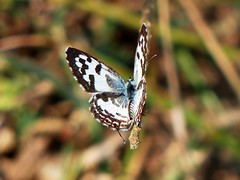 Common Pierrot - in Evening light - Eastern Ghats (forest - Thanks - 6.7 M+ views ...) Tags: animal butterfly beautiful green grass wild light outstanding outdoor mountains marvellous excellent bugs butterflies well wilderness blues blue chip index closed lower house was have same time been