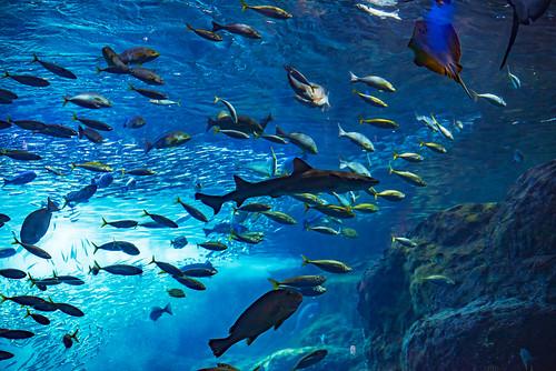 At Sagami Bay big tank in Enoshima Aquarium, Fujisawa : 相模湾大水槽にて(新江ノ島水族館)