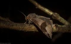 Dysgonia solomonensis (dustaway) Tags: arthropoda insecta lepidoptera australianmoths australianinsects tamborinemountain mounttamborine sequeensland queensland australia nature erebidae catocalinae dysgoniasolomonensis noctuoidea