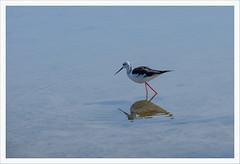 Senza titolo 142 (Outlaw Pete 65) Tags: uccello bird acqua water palude swamp riflessi reflections fujixe3 fujinon55200mm cavallinotreporti veneto italia