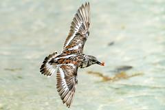 Ruddy Turnstone - Flight (Bernie Duhamel) Tags: ruddyturnstone shorebird bird wildlife mexico cancun gulfofmexico sea ocean beach sand bernie duhamel sonya9 sonyfe100400mm greatphotographers teamsony