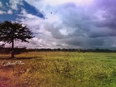 ... Y las nubes se perdían en el horizonte...!!! (MariaTere-7) Tags: arbol nubes llanos monte horizonte lachorrera panamá maríatere7 nwn