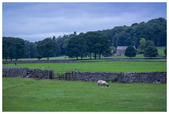 A view from Yorkshire Dales [1425] (my.travels) Tags: yorkshire dales england sheep scenery landscape countryside samsung nx2000 greatbritain unitedkingdom travel