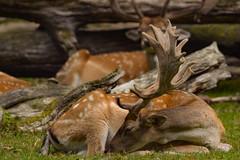 Deer (alexander_skaletz) Tags: sigma tree trees leaves landscape landscapes d5300 nikon nikond5300 german germany sunny dream green august summer warm animal deer wood sleep sleeping