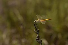 Sympetrum fonscolombii ♀ (Hachimaki123) Tags: deltadelebre fardelgarxal sympetrumfonscolombii ♀ animal insect insecto odonato odonata dragonfly libélula
