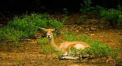 Deer_Amaze (BARUN DASH) Tags: curious look amaze deer alone woods forest rains spot track gaze animal cute wonder face love shy dawn morning wow colour complex modern life jungle beauty beautiful stare wild wildlife unspotted impala trending new park golden nikon d3400 photography jumper tame winner gazelle stag mammal