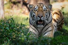 my last Makar picture / mein letztes Foto von Makar (gosammy1971) Tags: makar zoo duisburg amurtiger sibirischer tiger august 2018 zamcsc polen poland