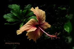 Batida por la lluvia/Beaten by the rain (Altagracia Aristy Sánchez) Tags: hibisco hibiscus cayena laromana quisqueya repúblicadominicana dominicanrepublic caribe caribbean caraibbi antillas antilles trópico tropic américa fujifilmfinepixhs10 altagraciaaristy