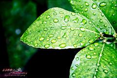(j5 test) Rain Droplets (1300 Photography) Tags: nikon nikon1j5 outdoors plants tree fruit lemon affinity