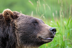 Model Bear (Alex E. Proimos) Tags: alaska tour alaskan usa summer holiday brown black bear mac ios wallpaper windows android 1080p display macosx osx 2160p