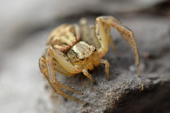 Krabspin Xysticus sp. (johco266) Tags: krabspin crabspider krabbenspinne xysticus araña spin spider spinne arachnida aranea araignée arthropoda backyard gardensafari macro macrophotography nikon