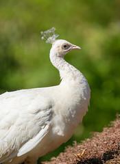 Weißer Pfau (KaAuenwasser83) Tags: weiserpfau pfau 2018 zoo karlsruhe