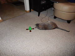 DSCN3200 (mestes76) Tags: 100617 duluth minnesota cats pets fetty fettucini cattoys butterflies playing