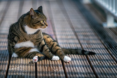 Shetti chilling on our rooftop terras (Merlijn Hoek) Tags: shetti cat kitten rooftop terras amsterdam zuidoost amsterdamzuidoost merlijnhoek pet