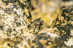 come una statua (anarcnide) Tags: granchio crab mare sea nikon d3300 macro croazia porec