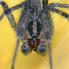 Recently mated male funnel weaver (Small Creatures) Tags: closeup d40 isco iscogottingen funnelweaver macro lensstacking nikond40 nikon pedipalp spider speedlight telewestanar