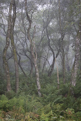Misty Wood.. (CamraMan.) Tags: birch tree silver nature mist autumn canon6d canon70200f4 carlisle ©davidliddle ©camraman