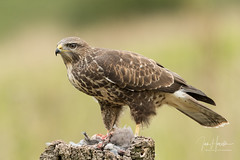 Common Buzzard (Ian howells wildlife photography) Tags: ianhowells ianhowellswildlifephotography nature naturephotography nationalgeographic canon canonuk wildlife wildlifephotography wales wild wildbird birdofprey bird buzzard bbcspringwatch